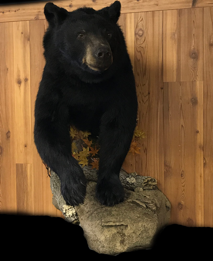 Bear Taxidermy Mounts Wisconsin- Stehlings Taxidermy Planet