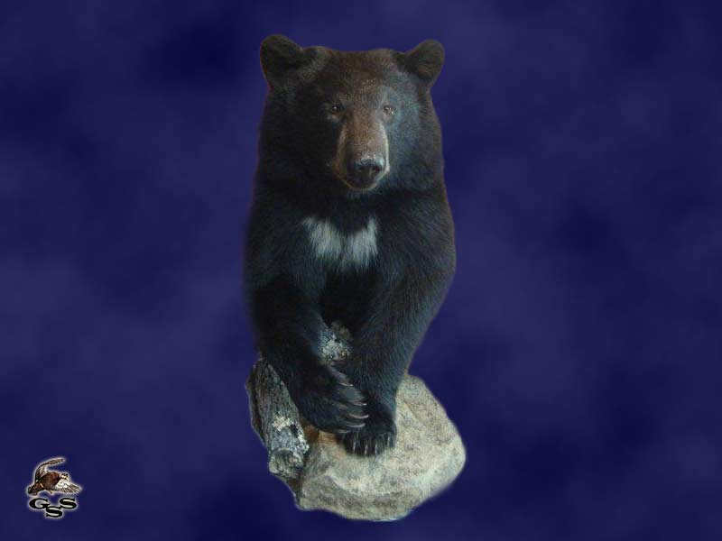 Bear Taxidermy Mounts Wisconsin Stehlings Taxidermy Planet
