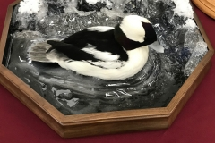 bufflehead-water-splash-wave-scene-duck-taxidermy-mount-2