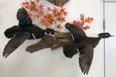 flying-woodduck-taxidermy-duck-mounts