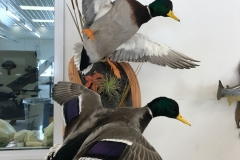 landing-in-mallard-duck-mounts