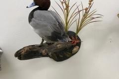 standing-redhead-duck-mount
