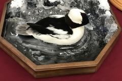bufflehead-water-splash-wave-scene-duck-taxidermy-mount-2