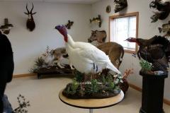white-turkey-side-profile
