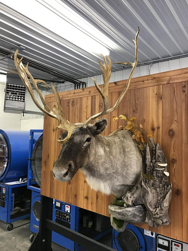 Caribou ready for the showroom