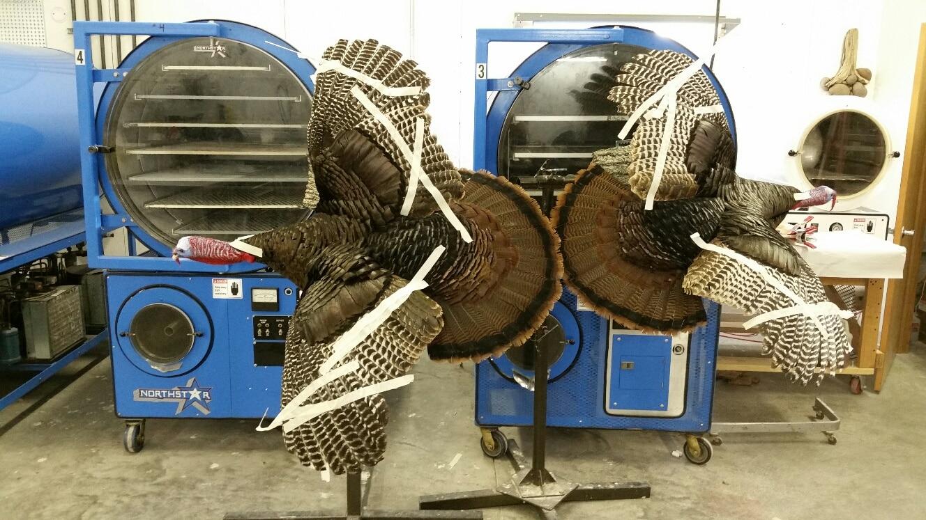 Turkeys Drying for Cabela's