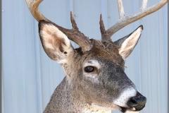 Upright deer eyes