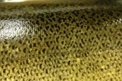 close up of lake mi salmon