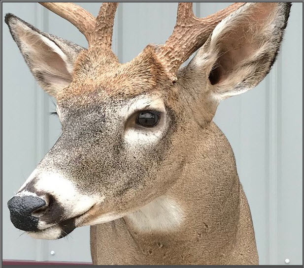 wisconsin deer taxidermy