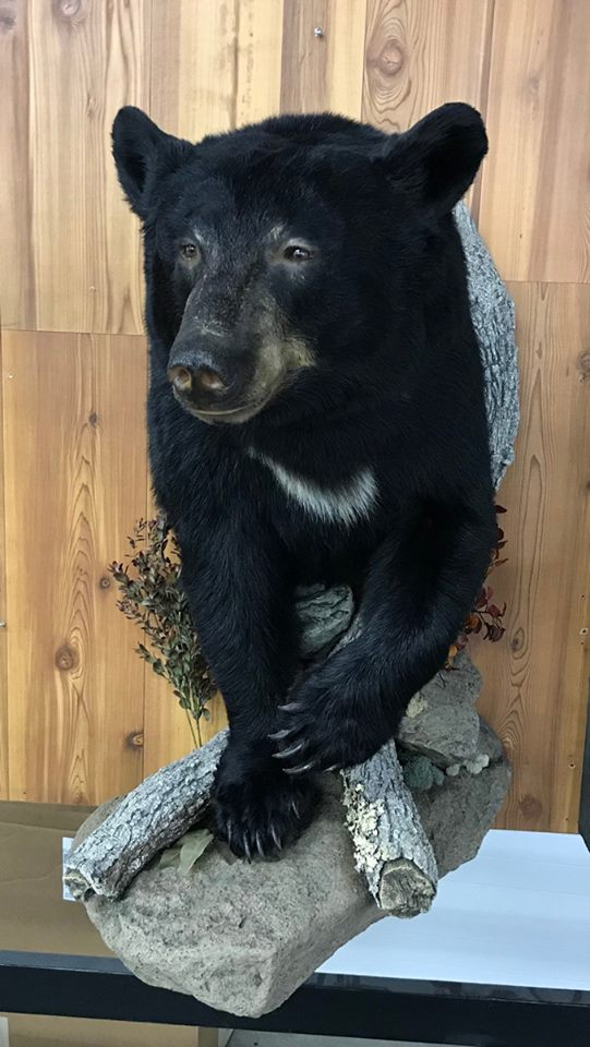 bear half mounts Charging Black Bear Half Mount Taxidermy
