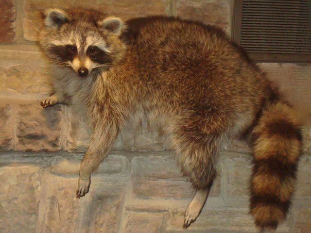 raccoon taxidermy mounts