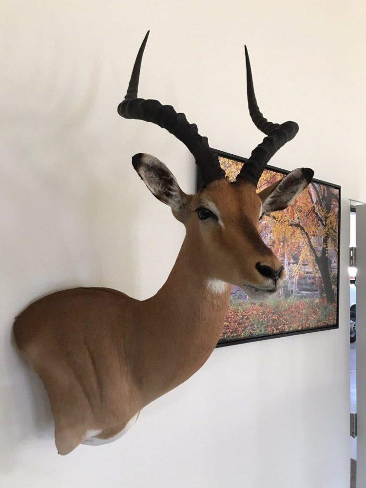 African Taxidermy Mount Impala