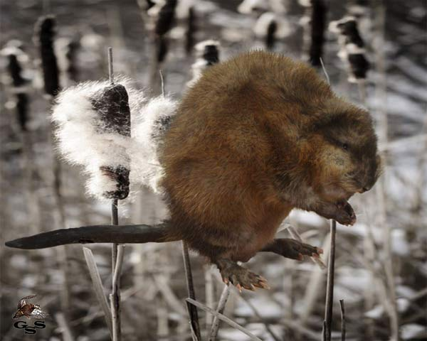 muskrat taxidermy mounts