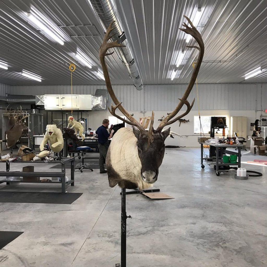 caribou shoulder mount taxidermy