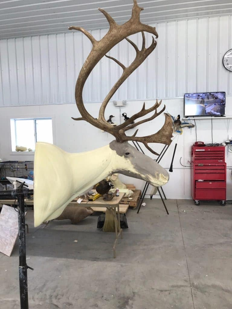Caribou shoulder mount taxidermy form alteration