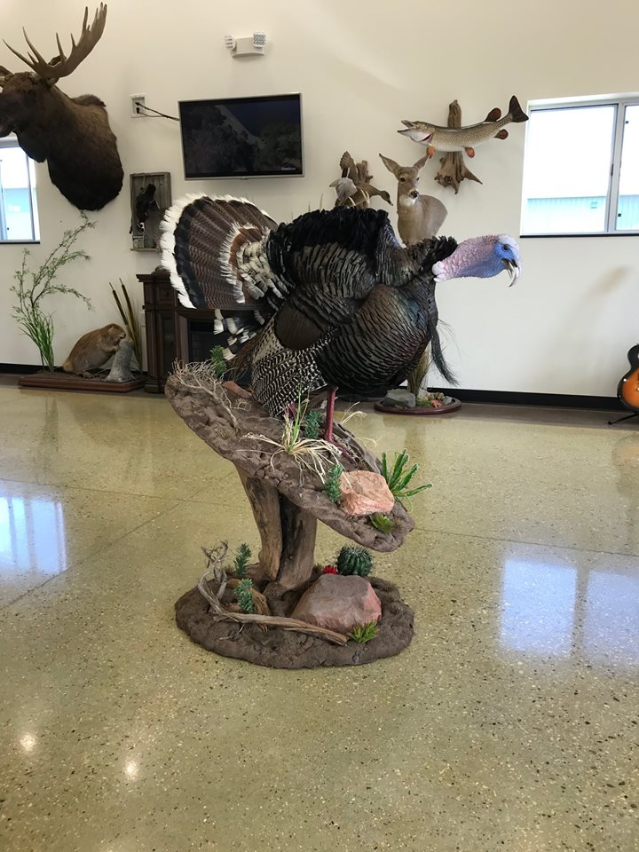 Gobbling Gould's Turkey Taxidermy