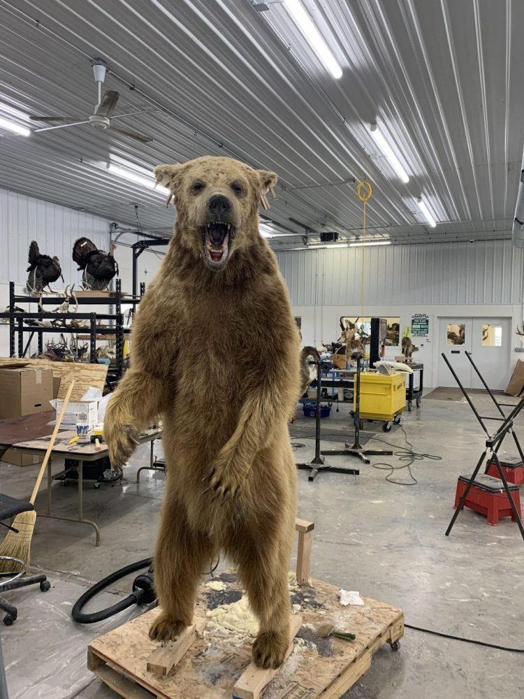 Grizzly bear mount in process stehlings taxidermy planet