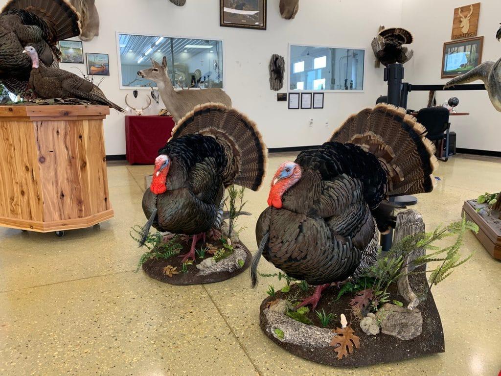 turkey taxidermy