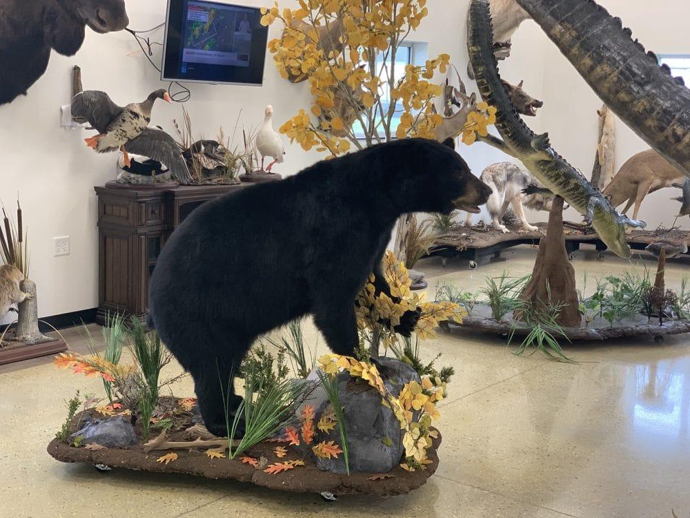 Taxidermy - Bear Taxidermy mount Wisconsin