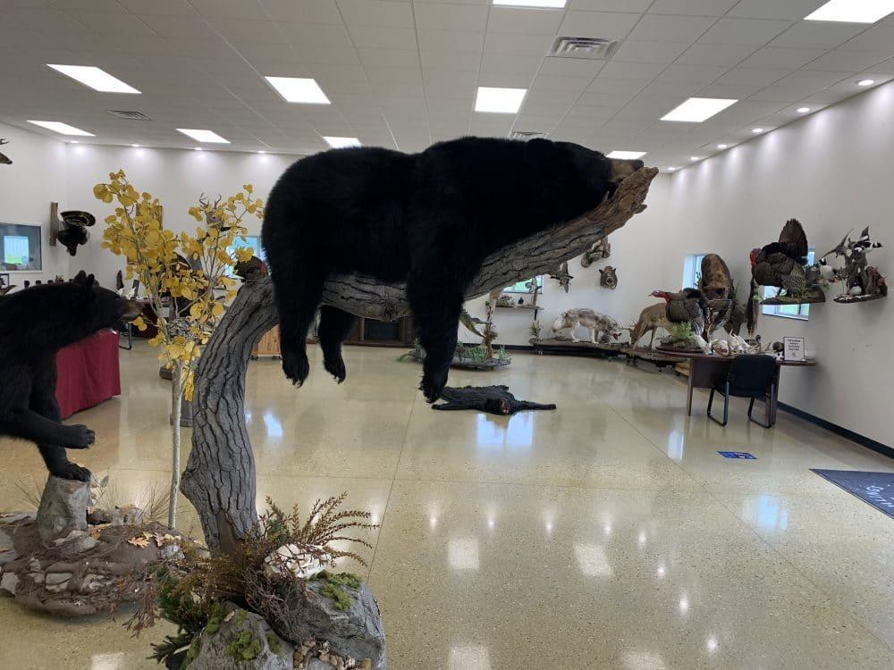 Black Bear Taxidermy Stehlings Taxidermy
